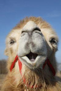 Ein Kamel lacht in die Kamera